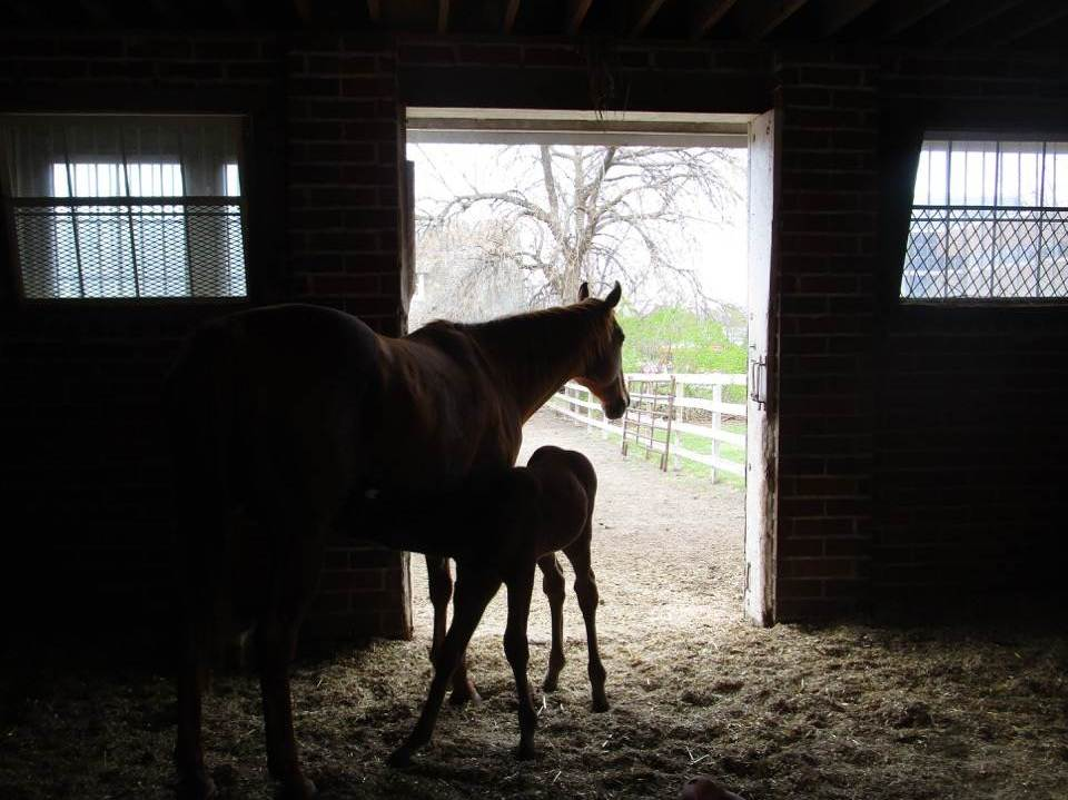 Mare and foals in the barn.